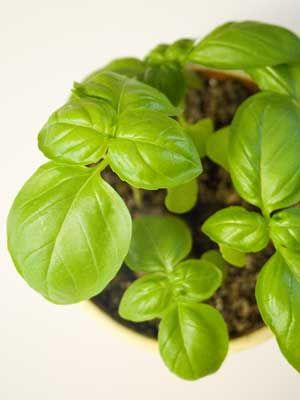 Basil Grow Guide