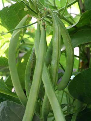 Beans (Pole)
