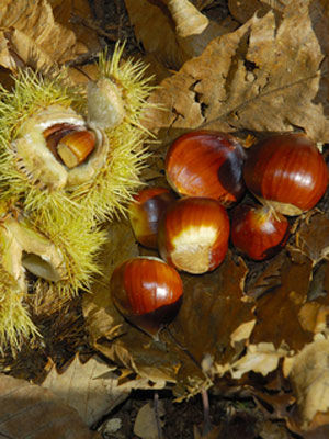 Chestnut (Chinese), also known as Chestnut (Sweet)