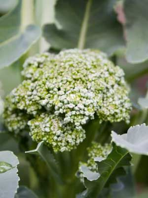 Broccoli, also known as Calabrese