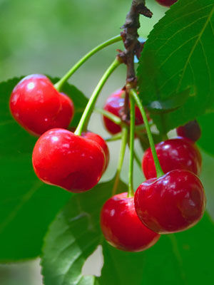 Cherry (Dwarf)