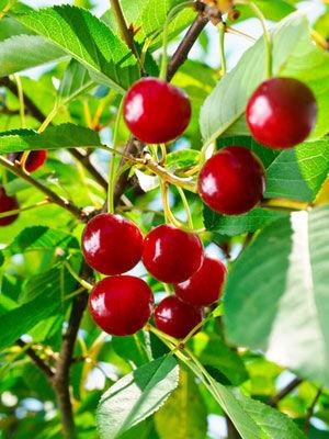 Cherry (Semi-Dwarf)
