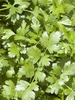 Cilantro, also known as Chinese Parsley