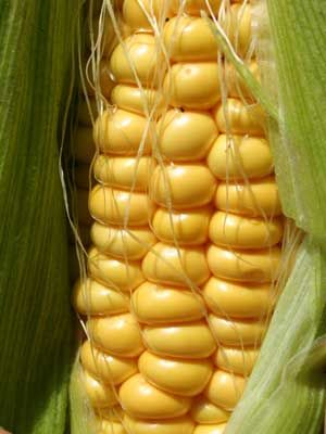 Corn, also known as Sweet Corn