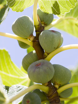 Fig (Container Grown)