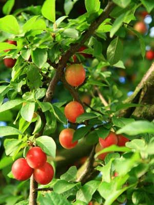 Fruit (Dwarf Tree)