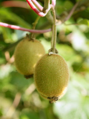 Kiwi, also known as Chinese Gooseberry