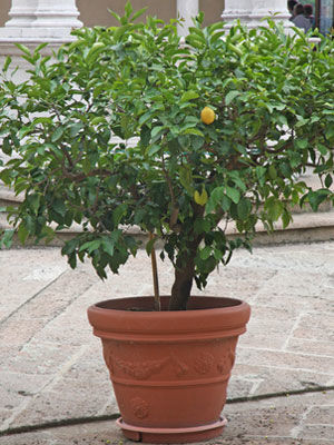 Lemon (Container Grown)