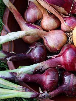 Onions (Autumn Red)