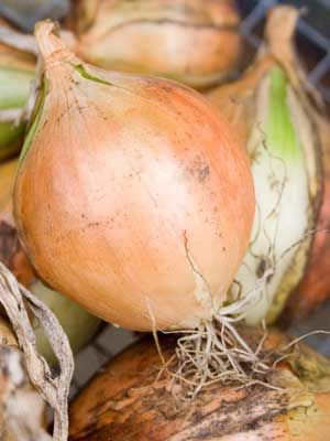 Onion (Autumn planted)