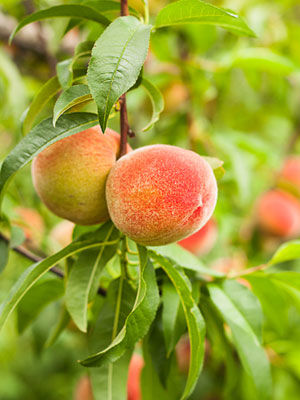 Peach (Dwarf)