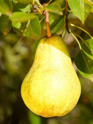 Pear (Dwarf)