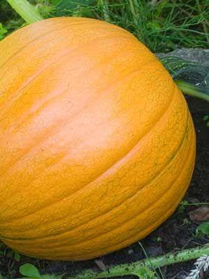 Pumpkin (Round), also known as American Pumpkin