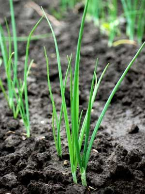 Spring Onion Grow Guide