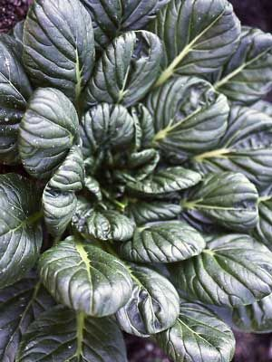 Tatsoi, also known as Spinach Mustard