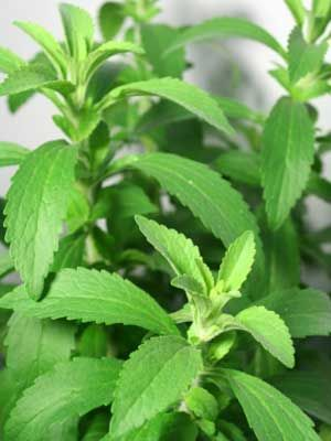 Image result for stevia plant