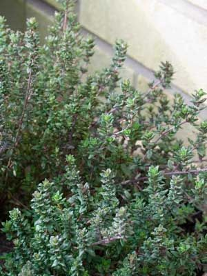Thyme, also known as English thyme, French thyme