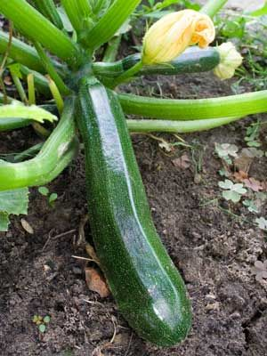 Zucchini, also known as Summer squash