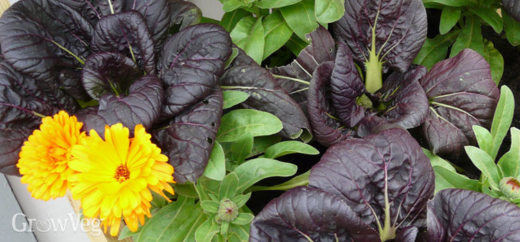 Companion planting with pak choi and calendula