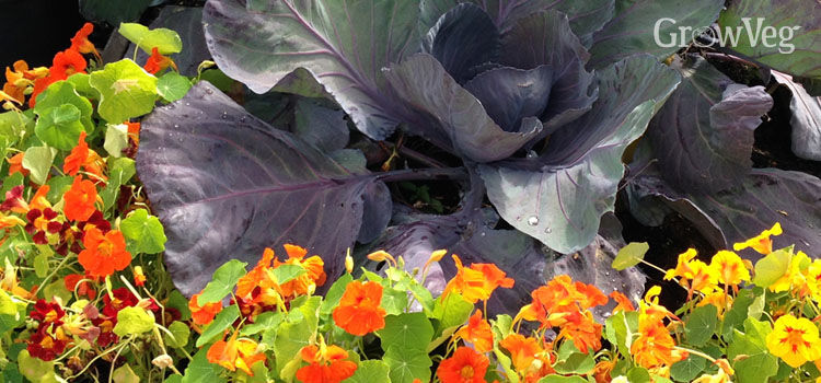 Nasturtiums growing alongside cabbage for companion planting