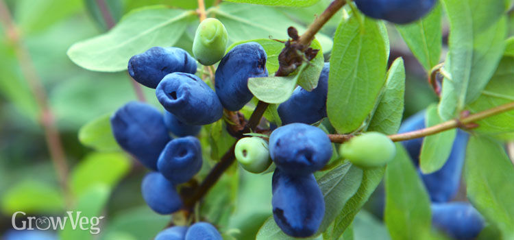 Honeyberry fruits