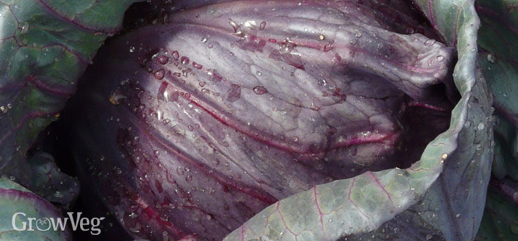 Red drumhead cabbage