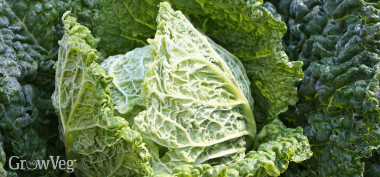 https://res.cloudinary.com/growinginteractive/image/upload/q_80/v1484847936/growblog/savoy-cabbage-2.jpg