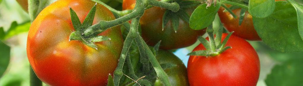 Blight-Resistant Tomato Varieties Worth Growing