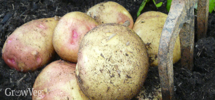 Harvesting early potatoes in a container
