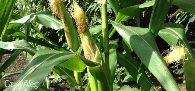 Wind-pollinated sweet corn