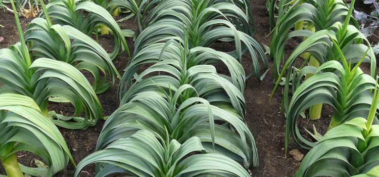 Rows of large leeks