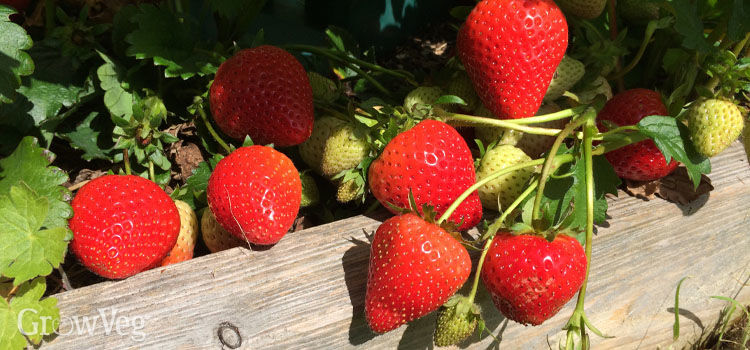 Strawberries ripening in the sun