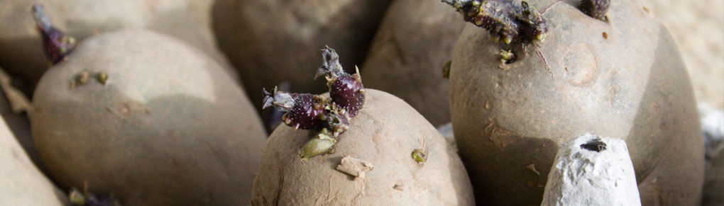 What to Do With Sprouting Potatoes