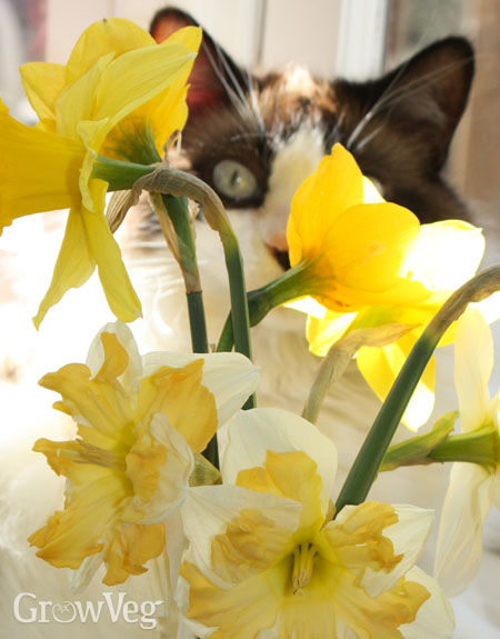 Cut daffodils with a cat peeking through