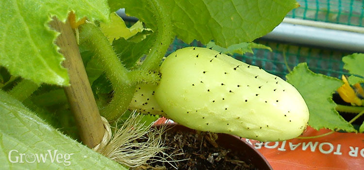 Heritage/heirloom cucumber 'Boothby's Blonde'