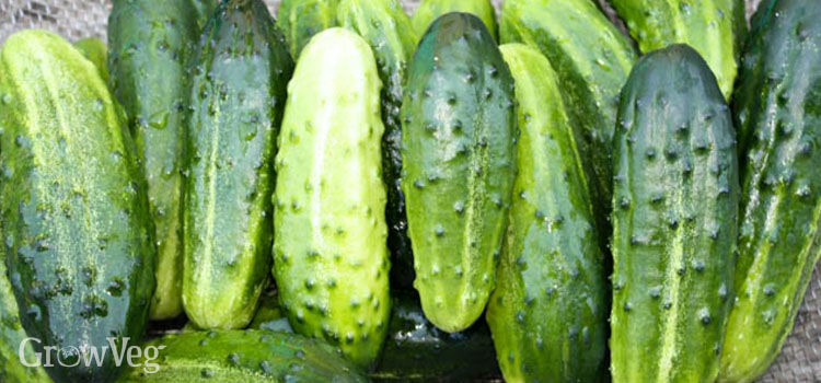 Small cucumbers