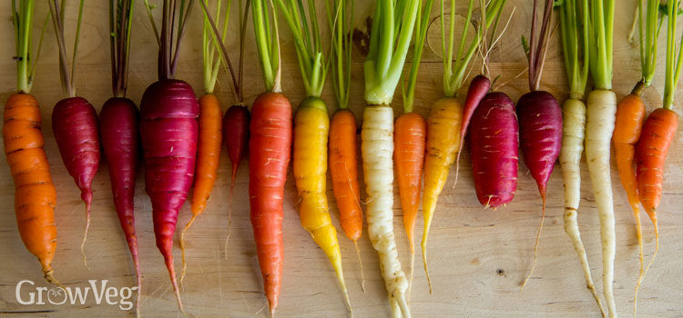 Carrot Grow Guide