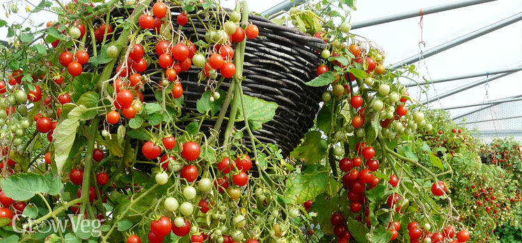https://res.cloudinary.com/growinginteractive/image/upload/q_80/v1494435411/growblog/tomato-hundreds-and-thousands-in-hanging-basket-2x.jpg