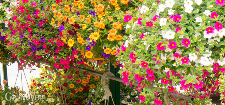 Hanging baskets full of flowers