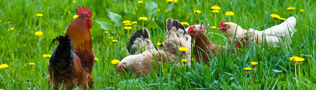 Keeping Chickens as Part of a Healthy Vegetable Garden