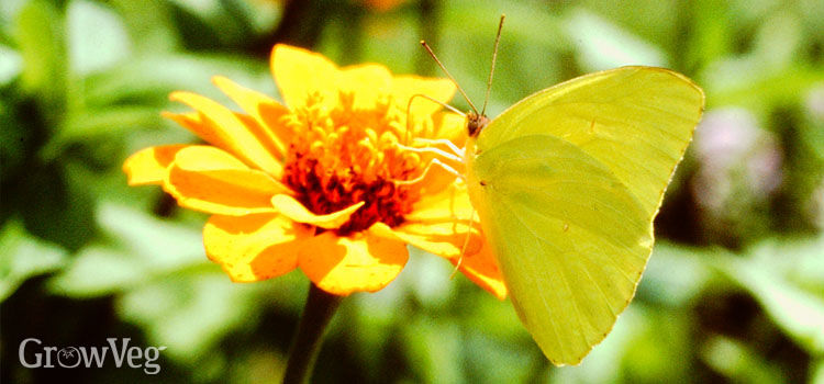 https://res.cloudinary.com/growinginteractive/image/upload/q_80/v1494510609/growblog/sulphur-butterfly-2x.jpg