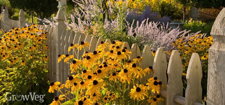rudbeckia growing through a picket fence - Cottage Garden
