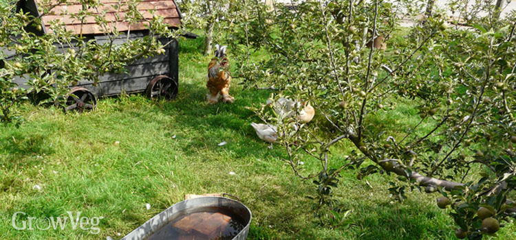 Orchard with chickens