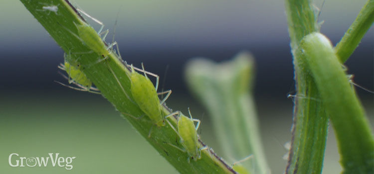 https://res.cloudinary.com/growinginteractive/image/upload/q_80/v1496941407/growblog/aphids-on-chilli-plant-2x.jpg