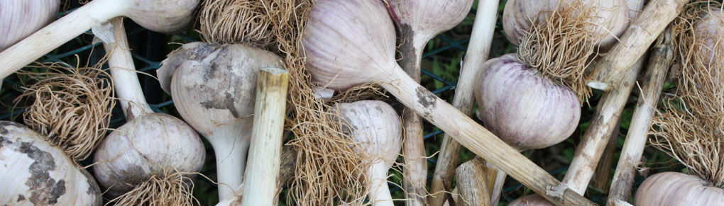 How to Harvest and Cure Garlic