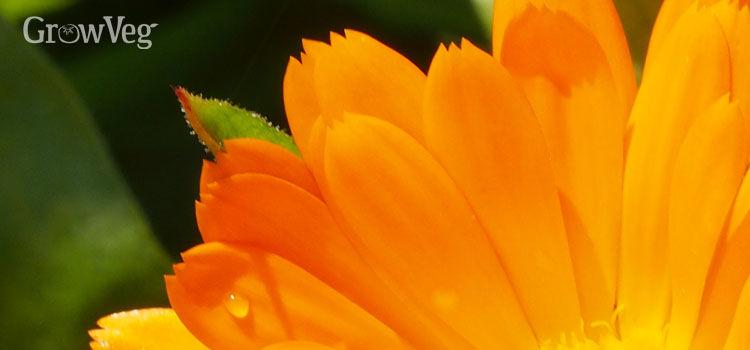 """""""Calendula"""