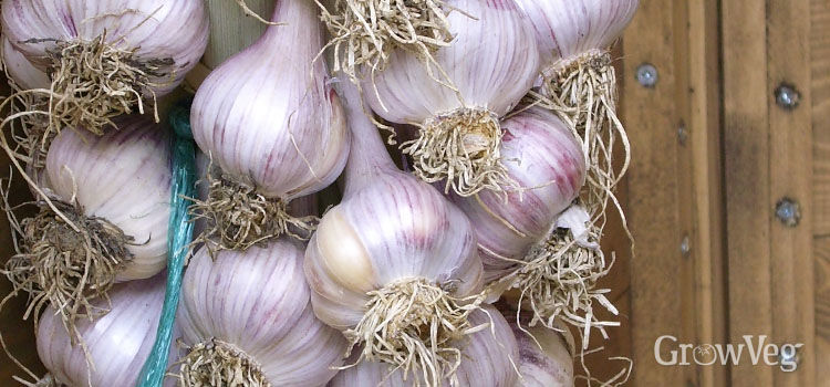 https://res.cloudinary.com/growinginteractive/image/upload/q_80/v1500025443/growblog/garlic-string-2x.jpg