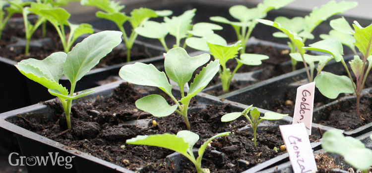 Cabbage seedlings under growlights