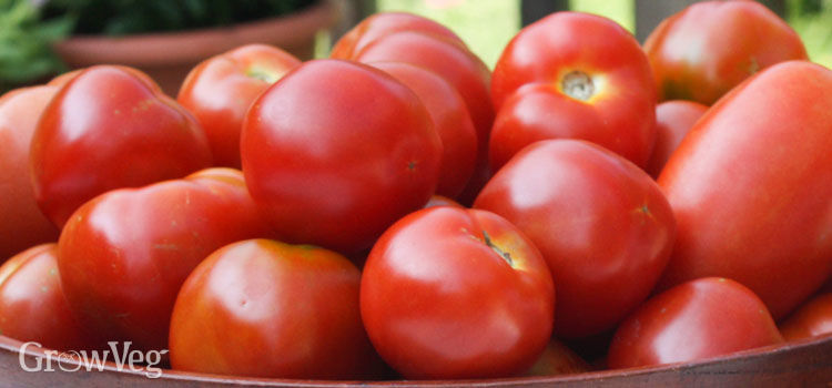 Healthy tomatoes not affected by blight