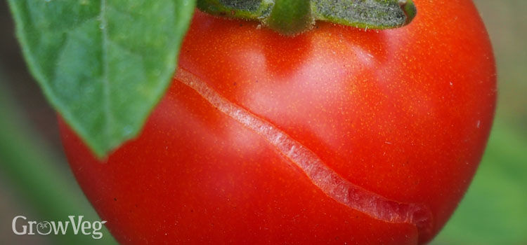 """""""Tomato"""